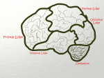 Brain lobes with label