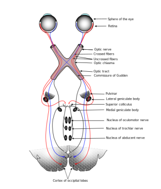 Visual sensory path Image credit: KDS444 via Wikipedia