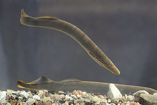 Lamprey Image credit: Tiit Hunt via Wikipedia