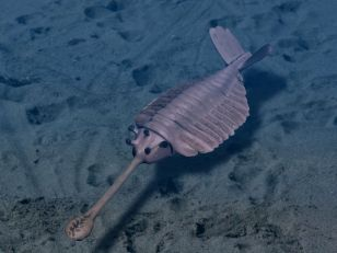 A Cambrian arthropod Image credit: Nobu Tamara via Wikipedia