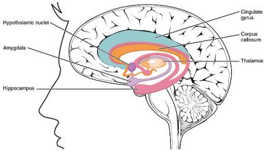 Subcortical structures of the brain