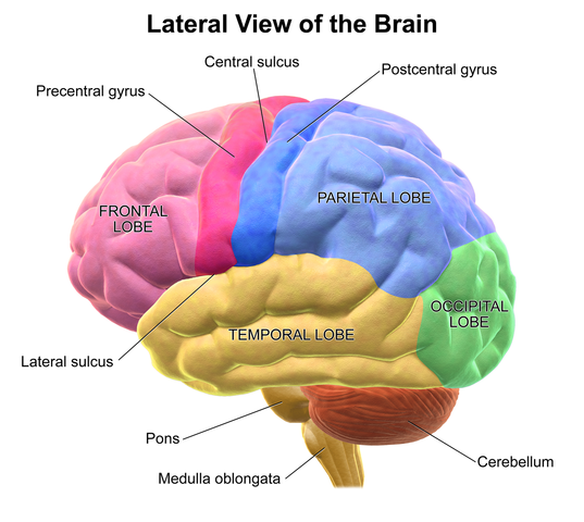 Diagram showing the regions of the brain