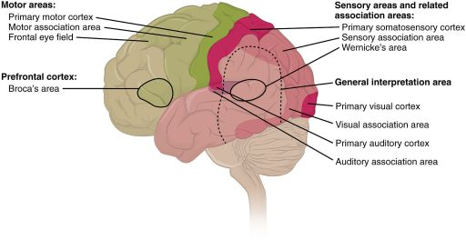 Diagram of the brain with the frontal regions in green and the poster regions in pink