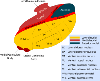 Diagram showing the various regions of the thalamus