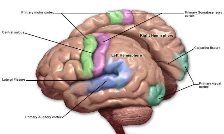 Diagram of the brain showing sensory and motor cortices