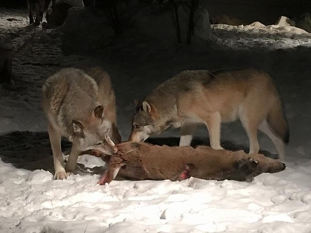 Wolves eating a deer